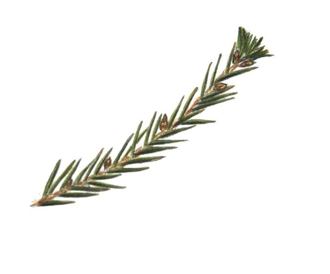 spruce_branch