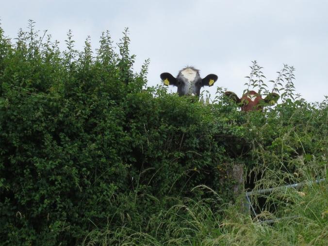 Dorset Cows