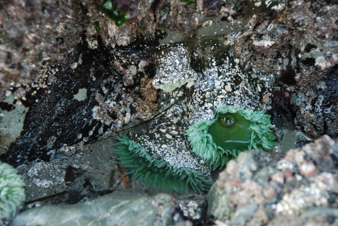 Sea anemone, Mackenzie Beach, Tofino