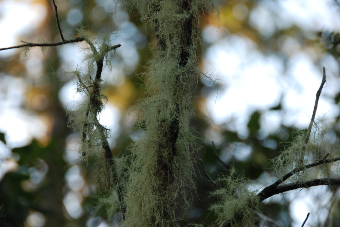 Tree lichen, Tofino