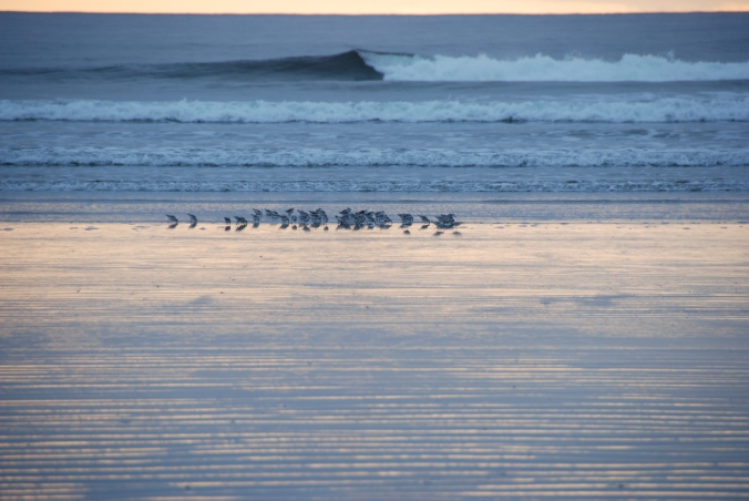 shorebirds on Long Beach