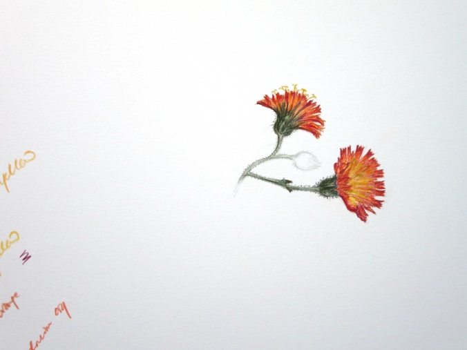 Drawing of orange hawkweed