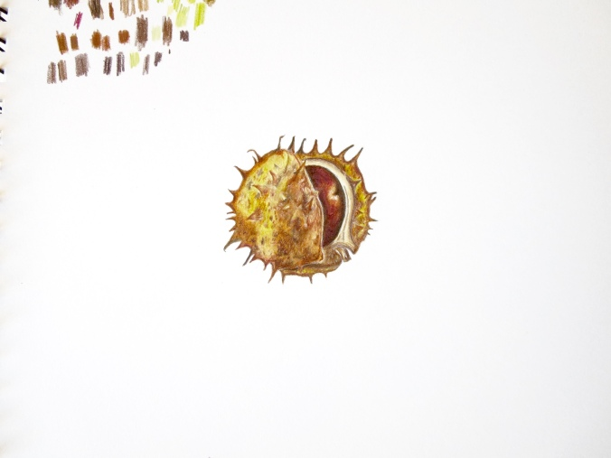 Illustration: horse chestnut/conker