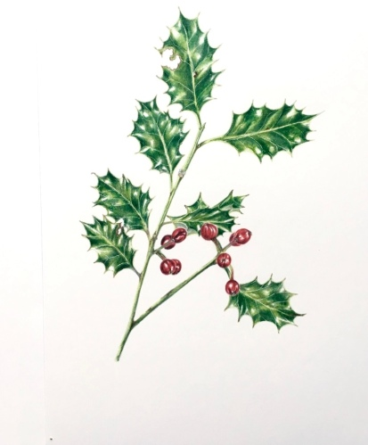 Illustration of holly and ivy