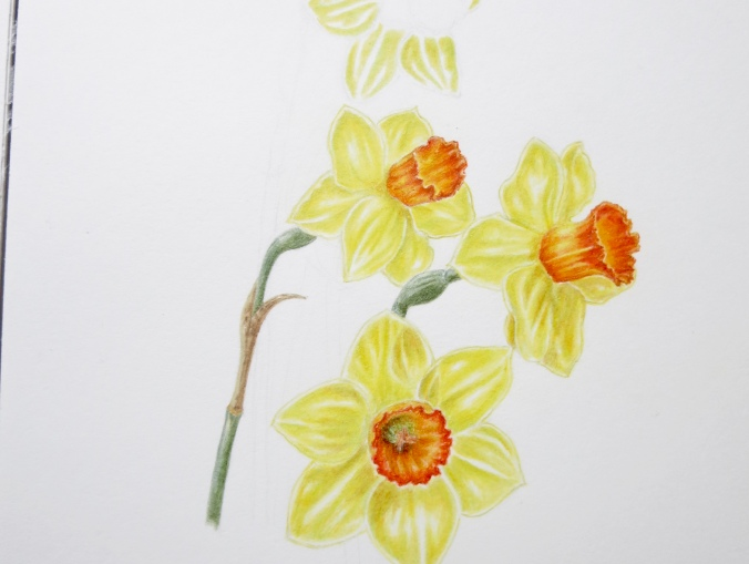 Illustration of daffodils
