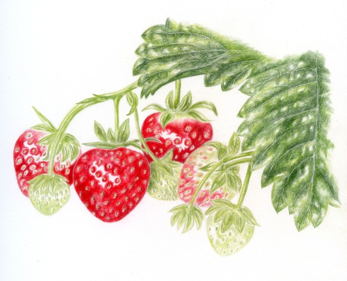botanical drawing of strawberries