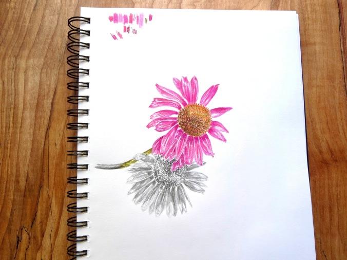 Drawing echinacea flowers