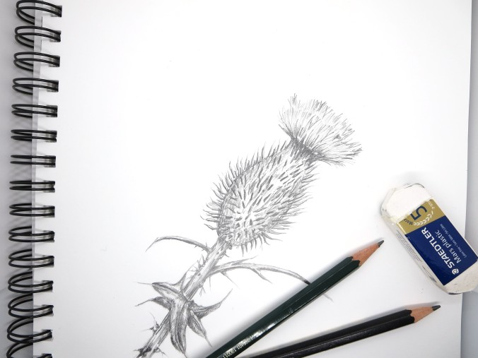 Thistle sketch
