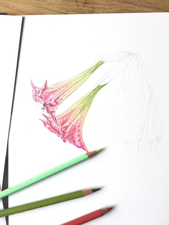 drawing of trumpet flowers