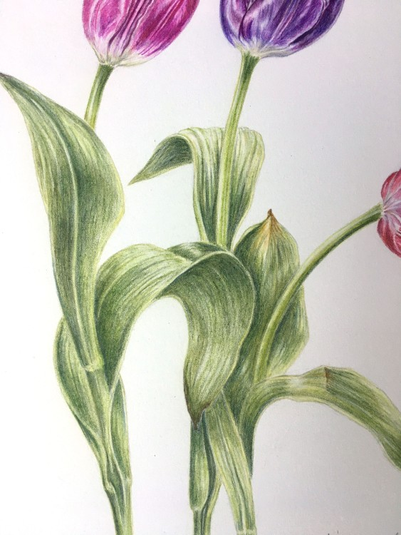 Tulip botanical drawing