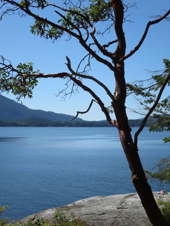 Arbutus tree, Saltery Bay